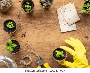 Top view on woman hand in yellow rubber glove with basil seedlings in biodegradable pots. Green plants in peat pots. Wooden table with copy space.
