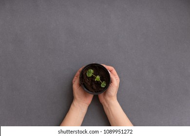 Top view on woman's hands holding small pot with sprouts on grey table background.
