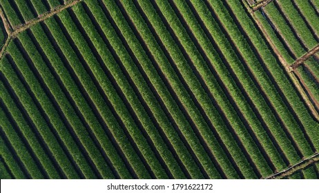 top view of onion fields forming a pattern