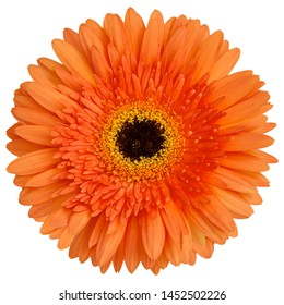 Top view of Orange Gerbera flower isolated on white background.studio shot.