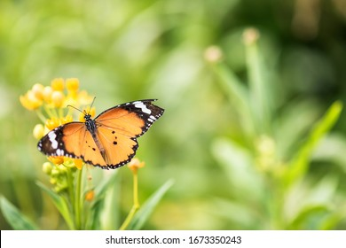 Top view of orange monarch butterfly eating on yellow flower carpel in spring with blurred bokeh floral greenery and sunrise background. Wildlife animal at garden with copy space for text.