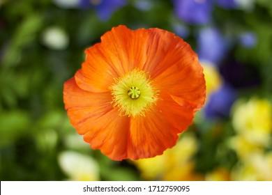 Top view of orange poppy flower, beautiful spring flower