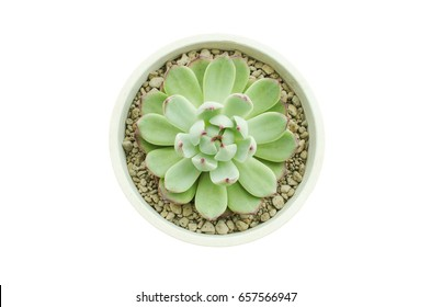 Top View of Pastel Green with Red Tipped Echeveria Pulidoniss Succulent Flower Plant White Background