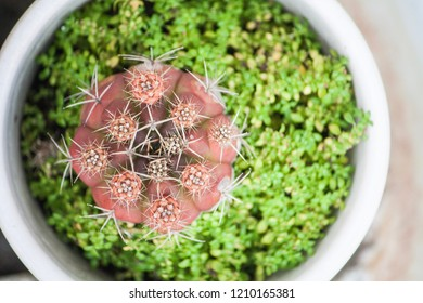 Top view pink cactus flower in white  pot with weed