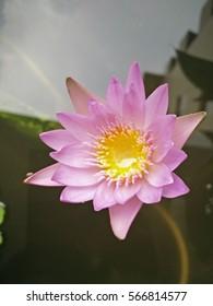 Top view pink Lotus flower in the garden.