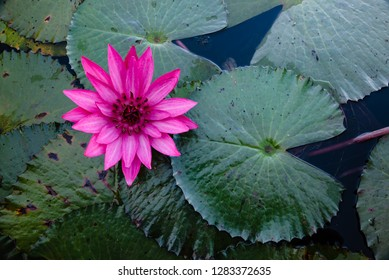 Top view pink water lily and green leaves on water background in the pond.Beautiful red lotus blossom in the water park valley lake.Natural plant background concept.