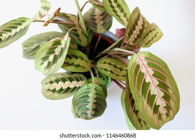 Top view of a Prayer Plant, isolated on white background.