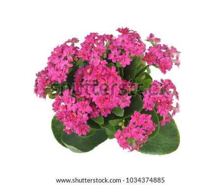 Top view purple kalanchoe flower house stock photo edit now top view of purple kalanchoe flower house plants isolated on white this has clipping mightylinksfo