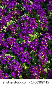 Top View of Purple Primula Flowers