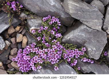 Top view of Purple saxifrage flowering between stones in Helgeland, Norway.