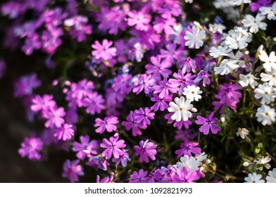 Top view of purple and white-coloured Creeping Phlox, or also known as Phlox Stolonifera, which is a herbaceous, stoloniferous, perennial, plant.