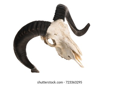 Top view of a ram skull with horns, studio shot isolated on white background