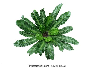 Top view of rare tropical foliage houseplant Bird's nest fern 'Cobra' or Cobra plant (Asplenium nidus) with pleated or wavy green leaves isolated on white background, clipping path included.