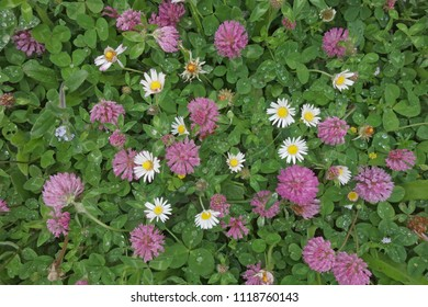 Top view of red clover (Trifolium pratense) and white daisies (Bellis perennis) in closeup after rain. Red clover is grown as a fodder and green manure crop. It is also used as herbal medicine.