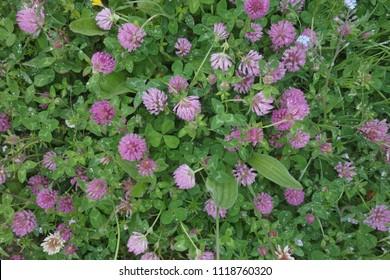 Draufsicht auf rotes Klee (Trifolium pratense) in Nahaufnahme nach Regen. Rotes Klee wird als Futter und Gründünger angebaut. Es wird auch als Kräutermedizin angewendet.