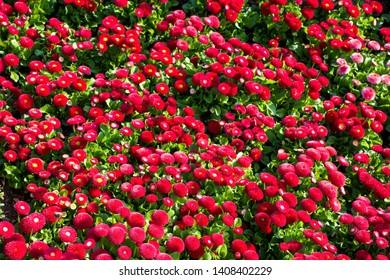 Top View of Red English Daisies (Bellis)