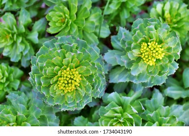 top view of rhodiola rosea sprouts in early spring