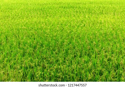 Top view of rice field as background in northern of Thailand