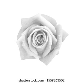 Top view rose flowers gray or white petal blooming with water drops isolated on background and clipping path