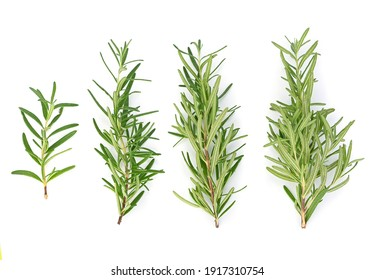 Top view of Rosemary isolated on white background