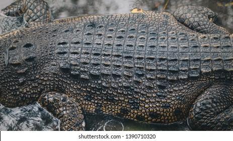 Top view of Saltwater crocodile top skin (Crocodylus porosus) or Buaya muara or Indo Australian crocodile or Man-eater crocodile. sunbathing at the swamp zoo.