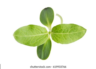 top view sapling leaf on white background, growth concept
