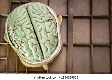 Top View of School Science Biology Model Human Skull Brains