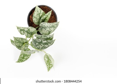 Top view Scindapsus Pictus 'Silver Lady' houseplants in black pot on white background