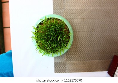 top view of seedling rice in round pot for decorate on table