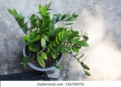 top view shot of a Zamioculcas (Zanzibar Gem) plant with bright green showy leaves in a white pot standing on a concrete ground. Sri Lanka