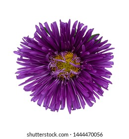 Top  view of single lilac Chinese Aster flower, isolated on a white bkackground.