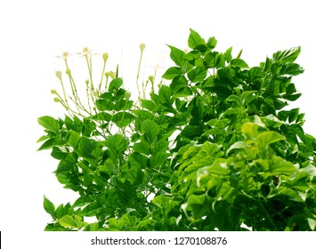 Top view of the small plant green fresh leaf white background isolated, verdant treetop foliage branch, lush leaves tree summer garden.