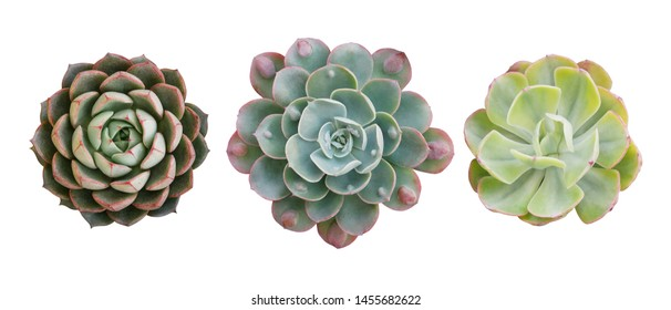 Top view of small potted cactus succulent plants, set of three various types of Echeveria succulents including Raindrops Echeveria (center) isolated on white background with clipping path.