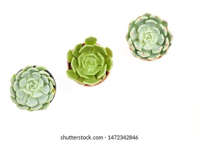 Top view of small potted cactus succulent plants, set of three various types of Echeveria succulents on white background with clipping path.