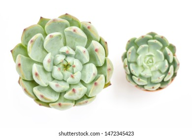 Top view of small potted cactus succulent plants,  types of Echeveria succulents on white background., focus big size