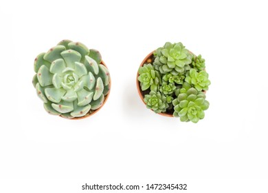 Top view of small potted cactus succulent plants,  types of Echeveria succulents on white background.
