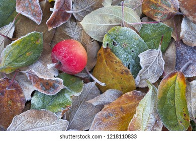 Top view of small red apple fallen on frost covered colorful leaves on ground in fruit garden. Focus on apple.