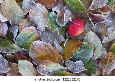 Top view of small red apple fallen on frost covered colorful leaves on ground in garden.