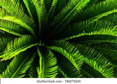 Top view of small sago palm tree plant with green leaves and spikes