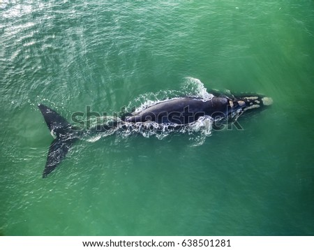 Top view of Southern Right Whales in Hermanus, Cape Town South Africa