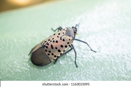 Top view of spotted lanternfly sitting on a fence, Berks County, Pennslvania.