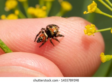 Top view of a tiny Brilliant Jumping Spider on a finger tip; jumping spiders are curious and friendly