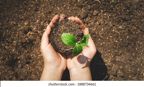 Top view toned photo of hands planting green small plant sprout in hole on fertile garden bed. Bringing new life and planting organic vegetables. - Shutterstock ID 1888734661