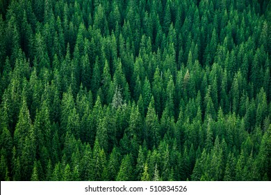 top view of the tops of trees of coniferous forests in the Carpathians
