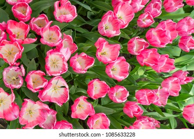 Top view of Tulips. Bunch of Pink with white in the center Tulip. Blooming mixture of white and purple tulips.