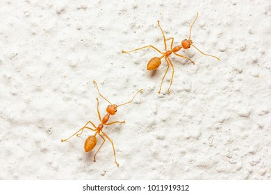 Top view of two red ants on the white floor.