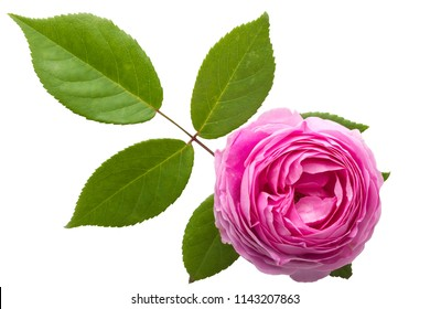 Top view Various soft roses and leaves scattered on a vintage background, Pink rose flowers arrangement isolated on white background.