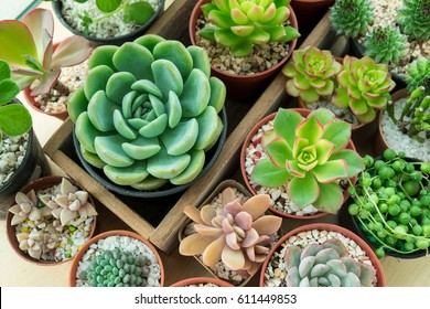 Top view of various types of succulent plant pot- echeveria, sempervivum, flowering house plants in wooden box