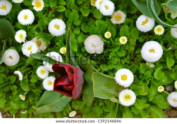 Top View White Bellis Tulip Flowers Stock Photo Edit Now 1392146846
