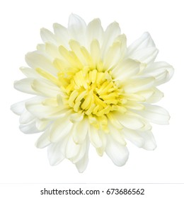 Top view of White Chrysanthemum flower isolated on white background.
